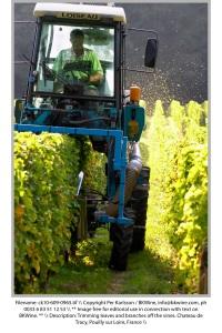 Bladverket ansas i vingården